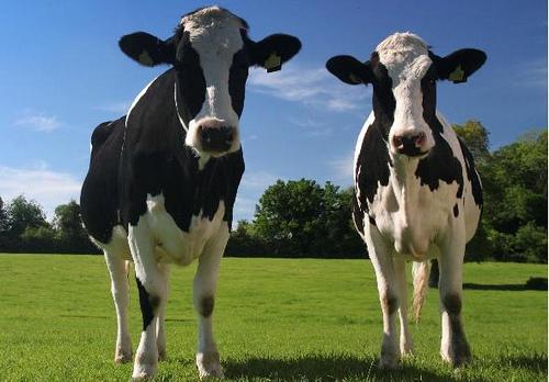 Camas de agua para vacas en una granja del Reino Unido
