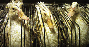 Imagen de gansos para producción de foie gras