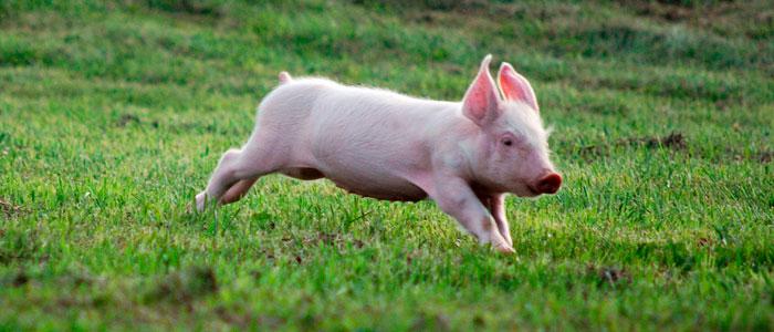 Avances en las mejoras de bienestar animal en las granjas de producción industrial