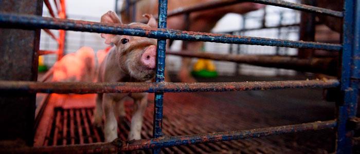 Avances contra el maltrato brutal a animales en mataderos