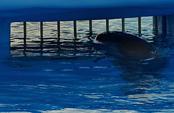 Captura de los delfines salvajes