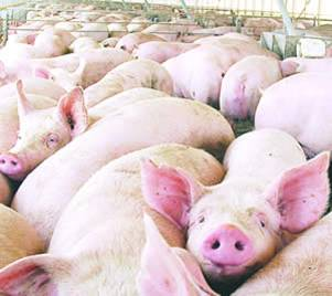 La Cría Intensiva de Cerdos en México