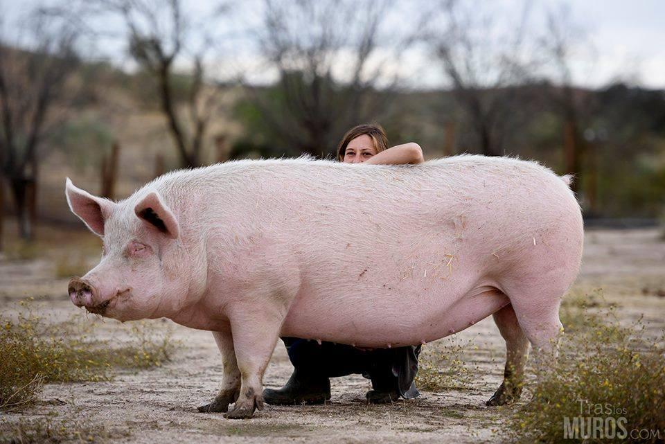 Lo que no conoces sobre los cerdos