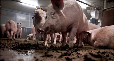 La producción industrial de cerdos: una vida de sufrimiento