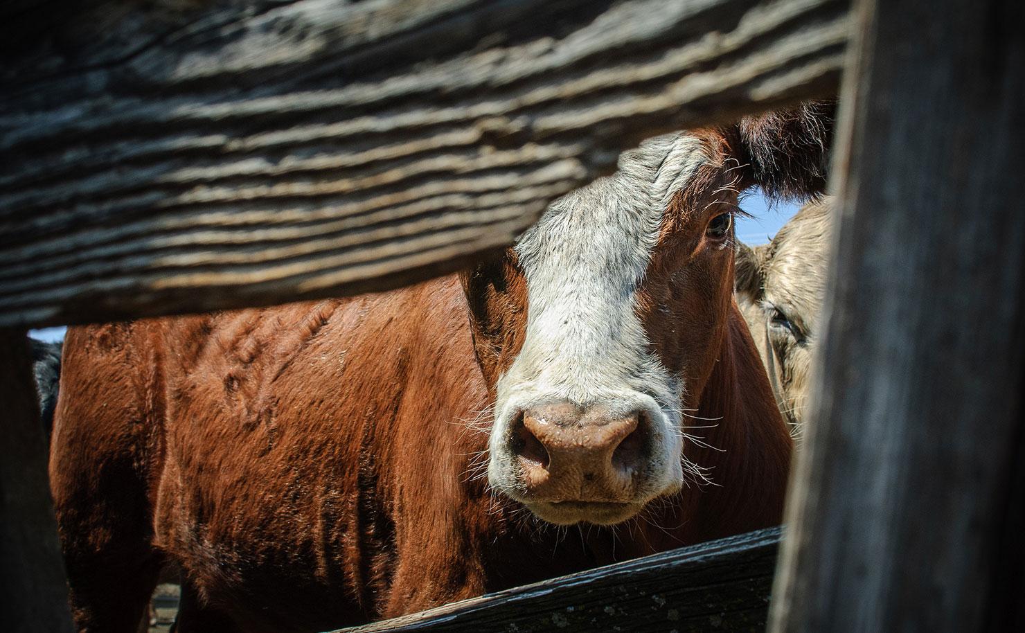 Comer carne destruye el planeta