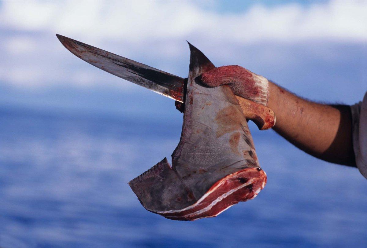 Tiburones: víctimas y victimarios