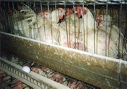 Las gallinas ponedoras y las jaulas en batería