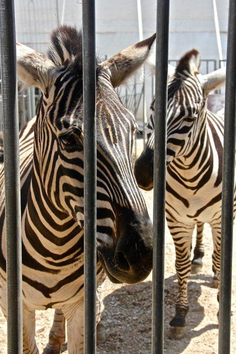 Viladamat se declara libre de circos con animales