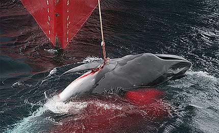 Japón no logra vender el 75% de la carne de ballena capturada