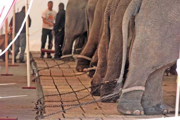 ¡Picassent se declara libre de circos con animales!
