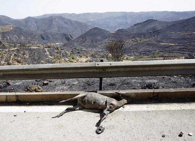 Los incendios en Valencia dejan miles de animales calcinados