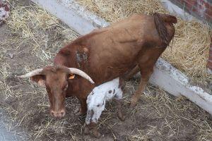 Una vaca que participaba en una capea pare un ternerillo en la plaza de toros
