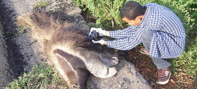 Investigarán la alerta de osos hormigueros