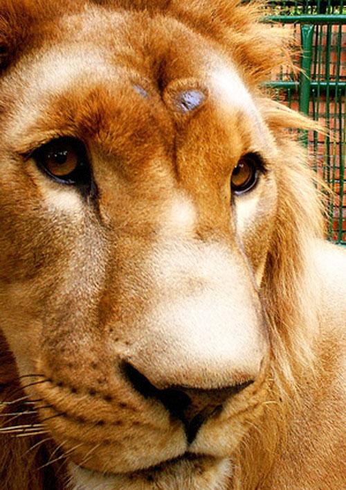 Murió Cairo, el león cautivo en el zoo de Mérida