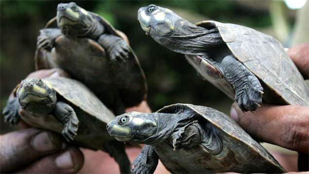 Liberan 1.150 tortugas y 30 caimanes en Apure