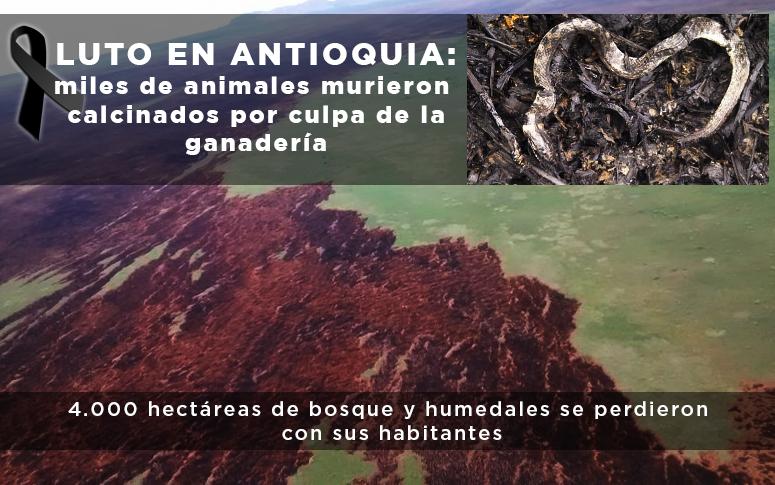 Luto en Antioquia: miles de animales murieron calcinados por cuenta de la ganadería