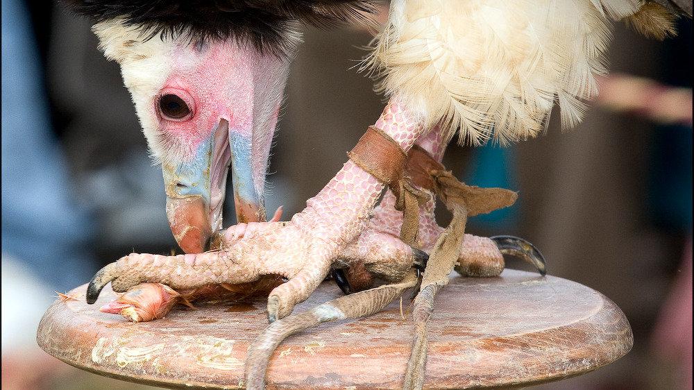¡Lloret de Mar no permitirá espectáculo de aves rapaces en su Feria Medieval!
