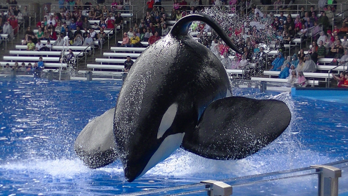"""El historial """"asesino"""" de las orcas que asesinamos"""