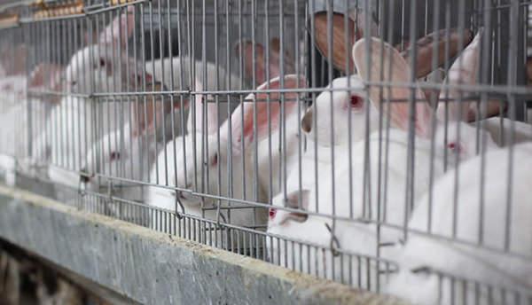 10 mil firmas a los eurodiputados españoles para eliminar las jaulas en la cría de conejos