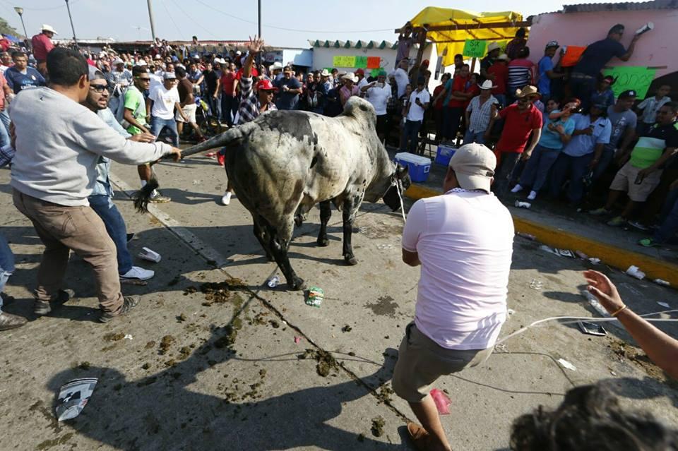 Dos toros fueron torturados por la muchedumbre en Tlacotalpan a pesar de prohibición