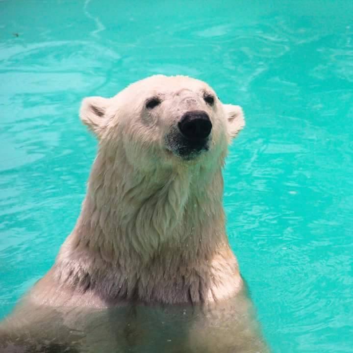 Informe de AnimaNaturalis sobre la osa polar Yupik