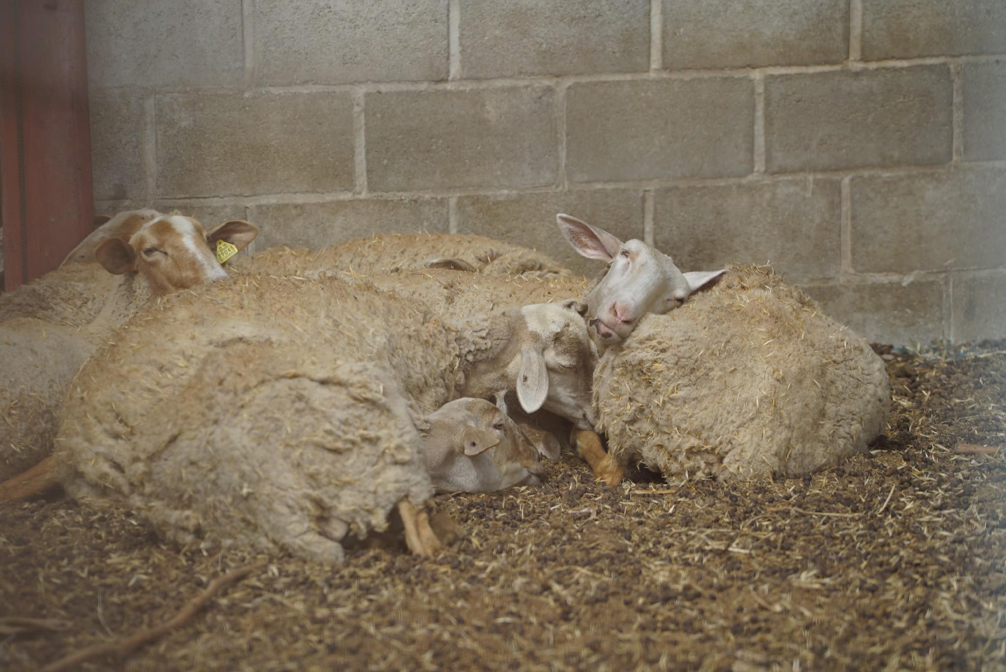 Denuncian que en Deltebre malviven ovejas rodeadas de cadáveres