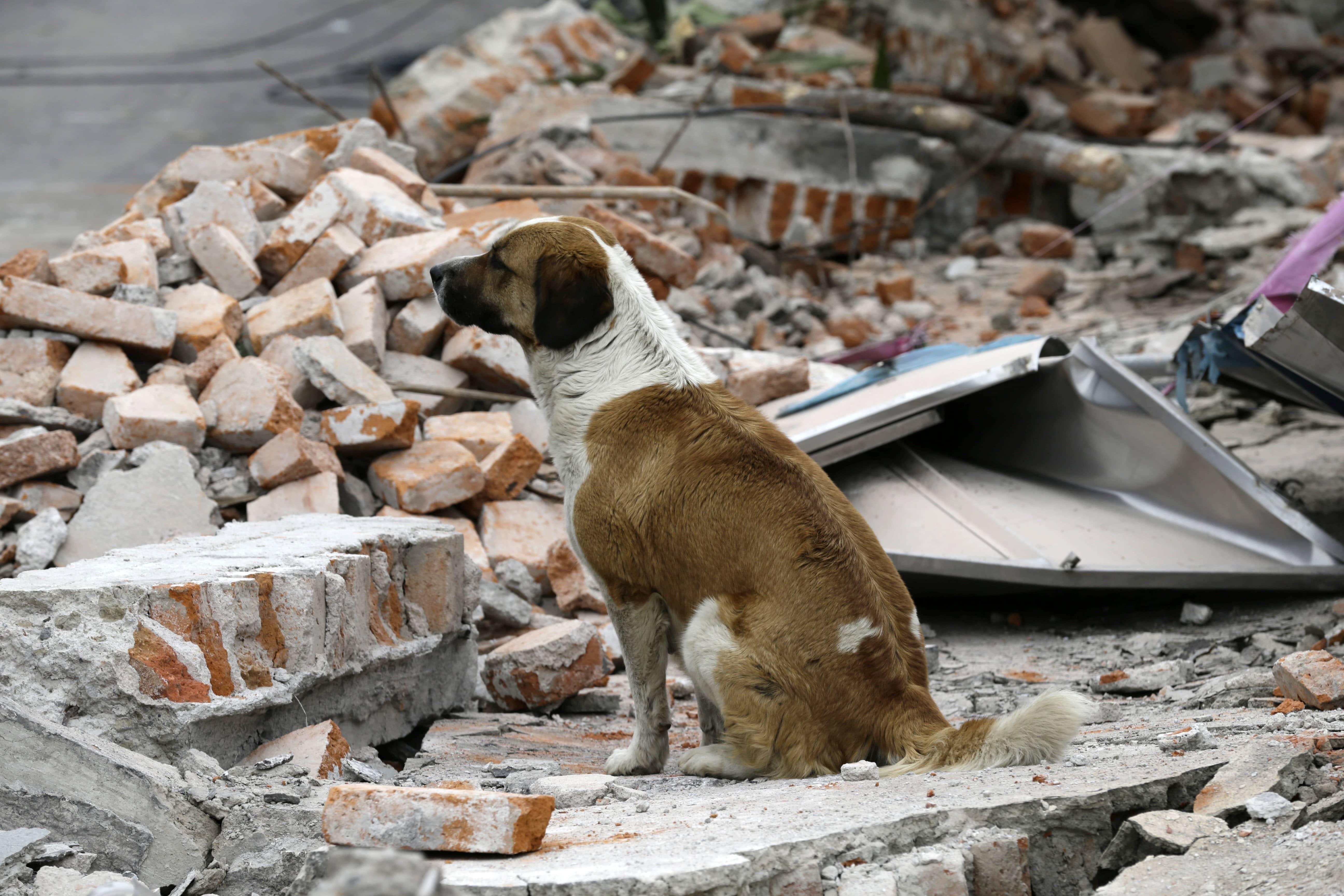 Ayúdanos a apoyar el rescate de los animales afectados por el terremoto de México