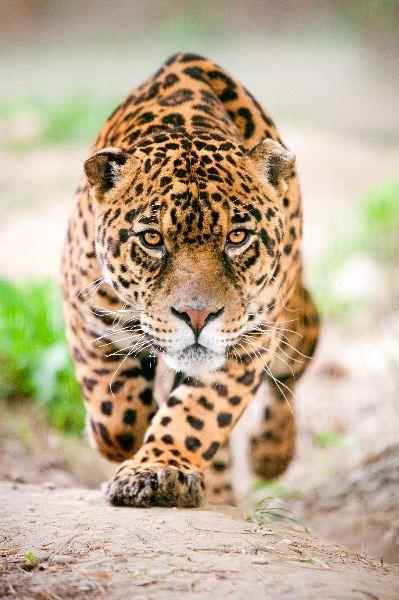 Tráfico de pieles y dientes amenaza al Jaguar