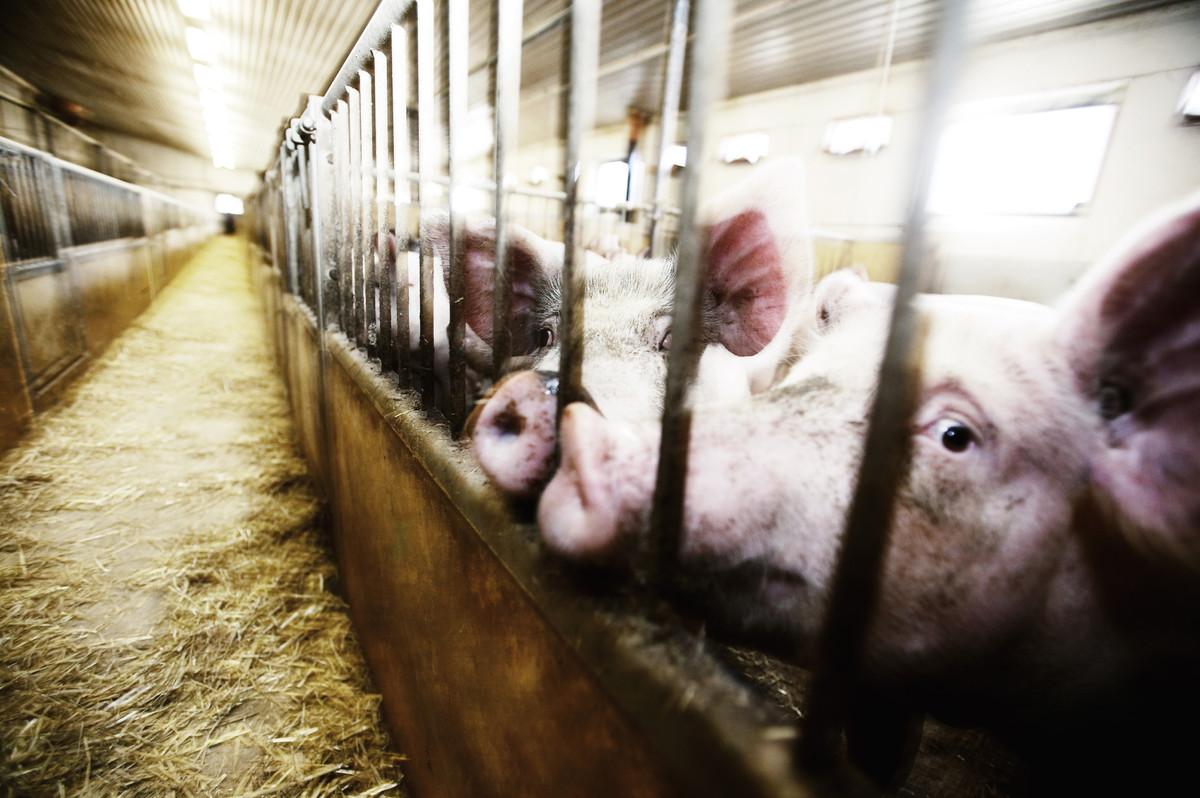 España es la mayor explotación de cerdos de Europa