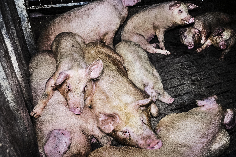 Cada día hay mil cerdos más en las granjas de Aragón