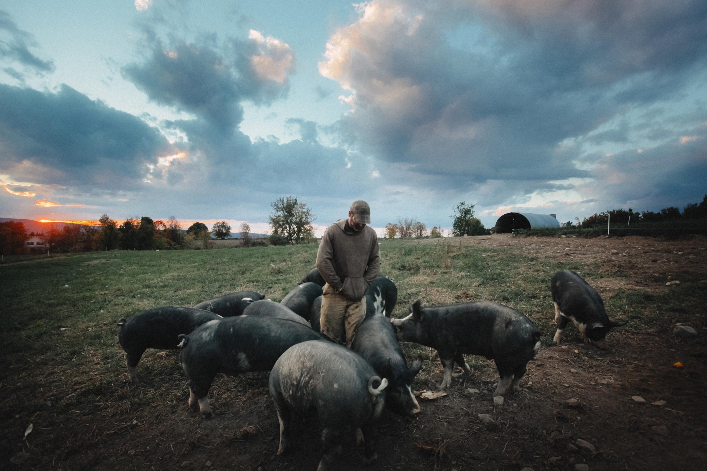 ¿Cerdos felices hacen carne feliz?
