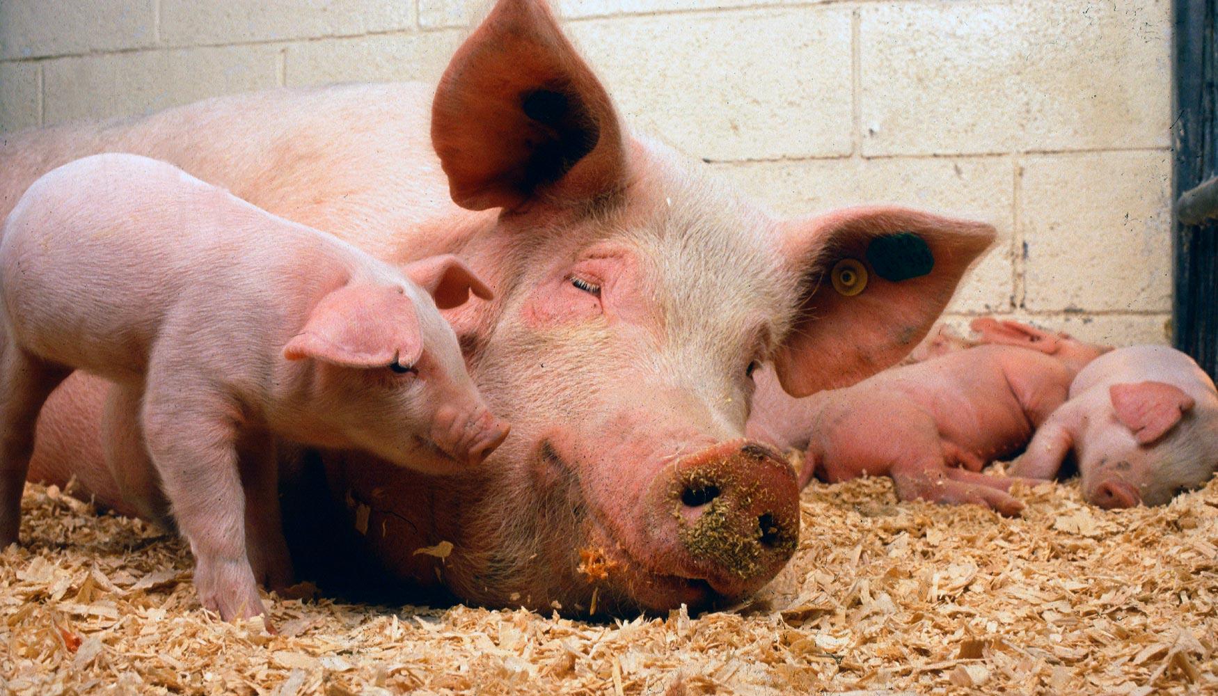 Industria cárnica discute su futuro ante el alza del veganismo