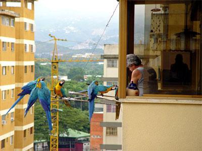 La triste historia detrás de las guacamayas de Caracas