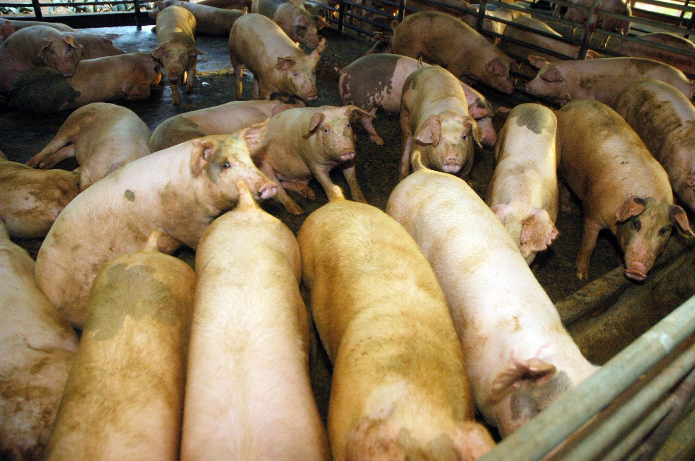 España se entrega al modelo de la ganadería intensiva