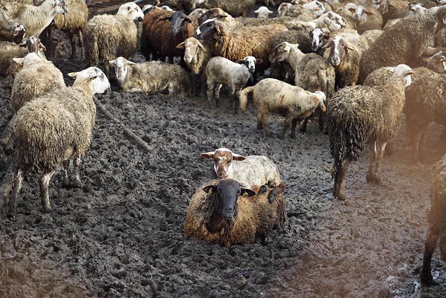 Decomisadas 700 ovejas y cabras desnutridas en una granja de Lliçà d'Amunt