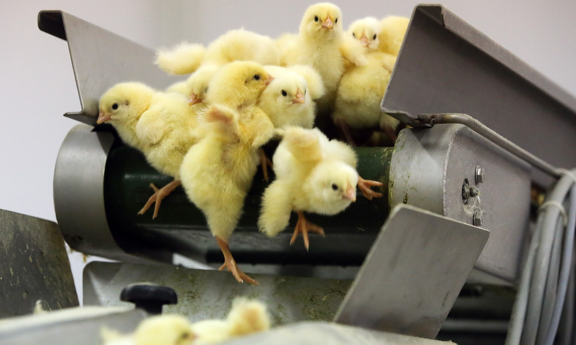 Cómo el nugget de pollo se convirtió en un símbolo de nuestra era