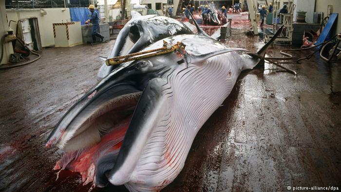 Japón asesina 122 ballenas preñadas y 114 ejemplares inmaduros en su caza 'científica'