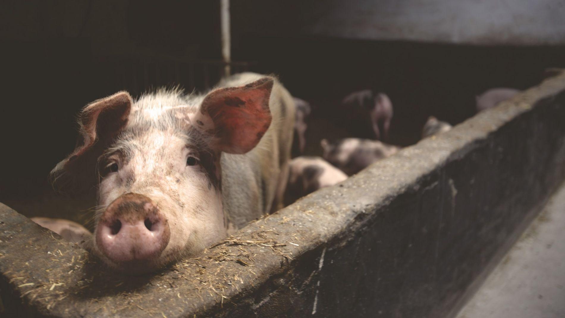 España vulnera de nuevo el límite de emisión de amoniaco de las macrogranjas de cerdos