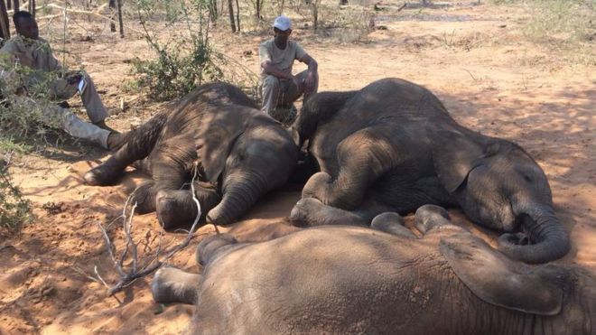 Encuentran casi un centenar de elefantes muertos en África