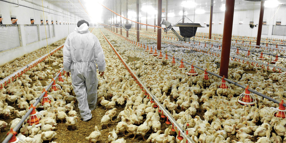 Granja intensiva de pollos