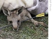 Matanza de canguros despierta la ira de defensores de los animales