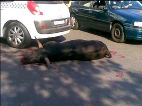 Policía Marbellí atropella y dispara hasta 21 veces a 1 toro P07-49540
