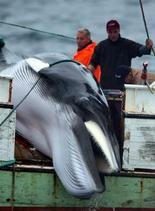 ONGs piden a Contraloría investigar 'silencio del Gobierno' por caza de ballenas