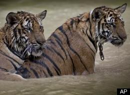 Las granjas de tigres asiáticas deberían cerrarse