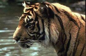 WWF lanza campaña global para salvar a los tigres
