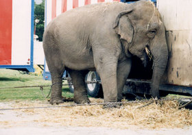 Tribunal falla a favor del circo Ringling en un caso de maltrato animal