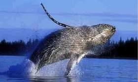 Australia anuncia acción legal para que Japón cese  la caza de ballenas