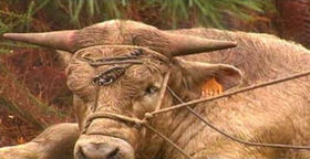 Indultan a Tame, el toro que logró huir de un matadero en O Porriño(Pontevedra)