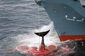 Japón suspende la caza de ballenas ante la presión de activistas