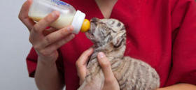 Muere una camada de 5 cachorros de tigre en el Circo Wonderland